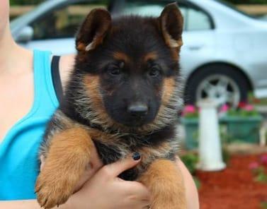 German Shepherd Breeders Ontario, Puppies For Sale, German