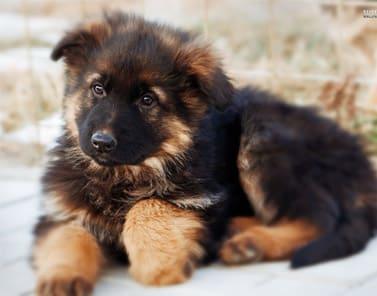 German Shepherd Breeders Ontario Puppies For Sale German Shepherd Dog
