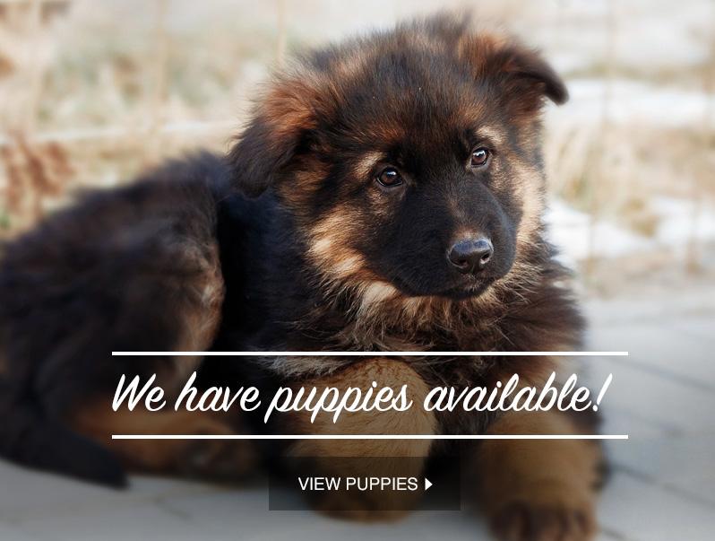 German Shepherd Breeders Ontario, Puppies For Sale, German Shepherd Dog
